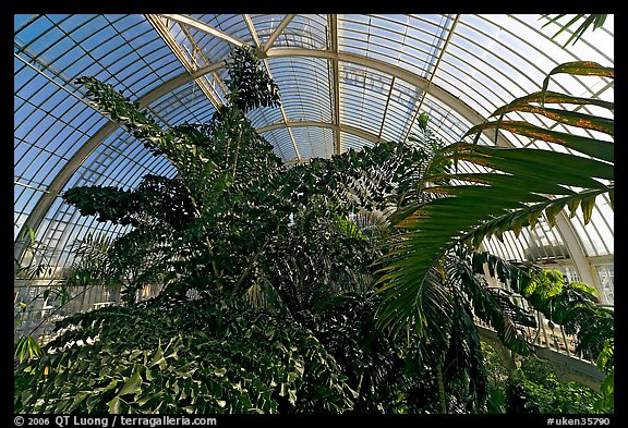 Tree canopy in the Palm House. Kew Royal Botanical Gardens,  London, England, United Kingdom (color)