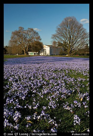 Carpet of glories of the Snow (Chionodoxa) and Orangerie. Kew Royal Botanical Gardens,  London, England, United Kingdom (color)