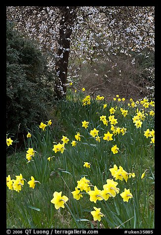 Daffodills and tree in bloom, Greenwich Park. Greenwich, London, England, United Kingdom (color)