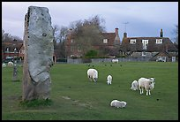 Standing stone, sheep, and village, Avebury, Wiltshire. England, United Kingdom (color)