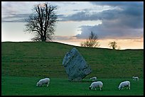 Sheep, standing stone, and hill at sunset, Avebury, Wiltshire. England, United Kingdom