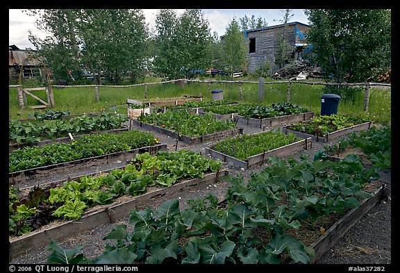 Vegetables grown in small enclosed garden. McCarthy, Alaska, USA (color)