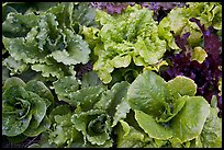 Close-up of lettuce grown in vegetable garden. McCarthy, Alaska, USA ( color)
