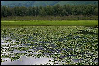 Lilly pond. Alaska, USA ( color)