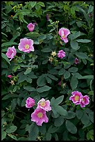 Wild Roses close-up. Alaska, USA ( color)