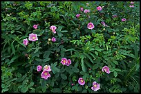 Wild Roses bush. Alaska, USA ( color)
