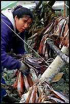 Inupiaq Eskimo woman hanging fish for drying, Ambler. North Western Alaska, USA ( color)