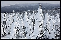 Trees plastered in snow. Alaska, USA ( color)