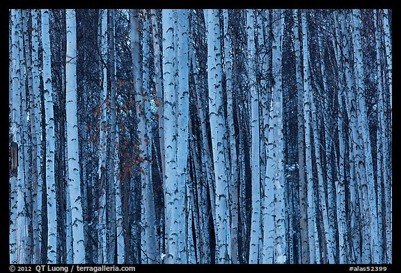 Bare aspen tree trunks. Alaska, USA (color)