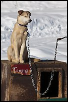 Husky dog sitting on doghouse. North Pole, Alaska, USA (color)