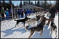 Musher feeding dogs. Chena Hot Springs, Alaska, USA ( color)