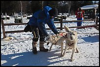 Musher attaching dogs. Chena Hot Springs, Alaska, USA ( color)
