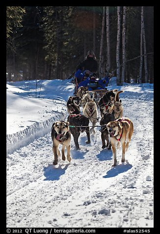 Dog mushing team on forest trail. Chena Hot Springs, Alaska, USA (color)