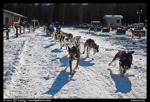 Sleg dog team pulling hard. Chena Hot Springs, Alaska, USA