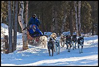 Musher and passengers pulled by dog team. Chena Hot Springs, Alaska, USA ( color)