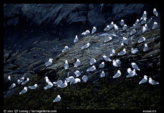 Seabirds on rock. Prince William Sound, Alaska, USA (color)