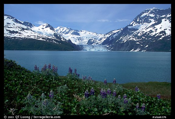 Lupine, mountains, and glaciers across Harriman Fjord. Prince William Sound, Alaska, USA (color)