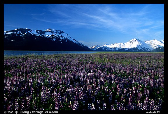 Lupine and snowy mountains near Portage. Alaska, USA (color)