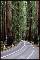 Car on road amongst tall redwood trees, Richardson Grove State Park. California, USA (color)