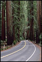 Curved road amongst tall redwood trees, Richardson Grove State Park. California, USA