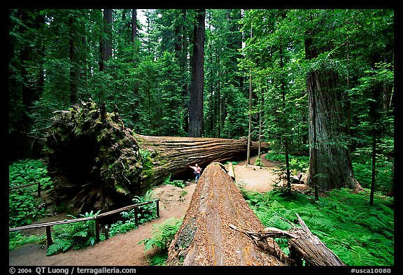 Fallen Redwoods trees, Humbolt State Park. California, USA (color)