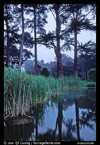 Pond, reeds, and pine trees. San Francisco, California, USA (color)