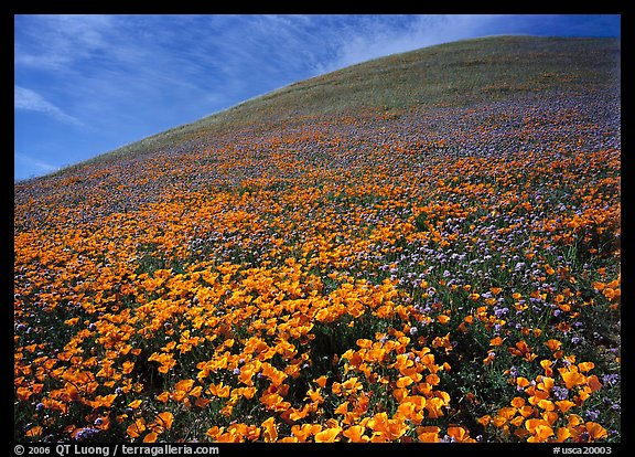 California Poppies, purple flowers,  and hill. California, USA (color)