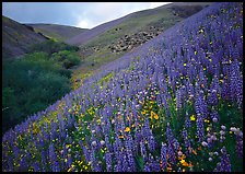 Lupine, Gorman Hills. California, USA (color)