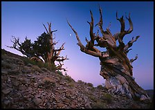 Old Bristlecone Pine trees and moon at sunset, Discovery Trail, Schulman Grove. California, USA ( color)