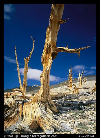 Dead standing Bristlecone pine trees,  White Mountains. California, USA (color)