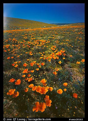 Bright orange California Poppies, hills W of the Preserve. Antelope Valley, California, USA (color)
