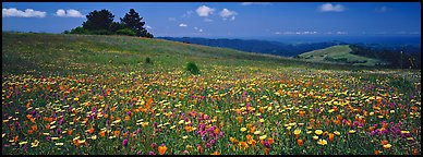 Spring landscape with wildflower carpet. Palo Alto,  California, USA (Panoramic color)