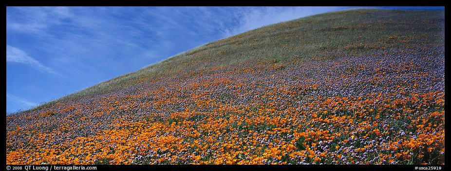 Hill covered with California poppies. Antelope Valley, California, USA (color)