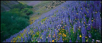 Thick lupine and California poppies on hillside. California, USA (Panoramic color)