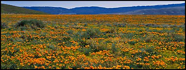 Valley flat covered with California poppies. Antelope Valley, California, USA (Panoramic color)