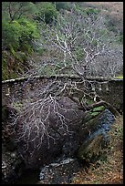 Stone bridge and bare tree,  Alum Rock Park. San Jose, California, USA