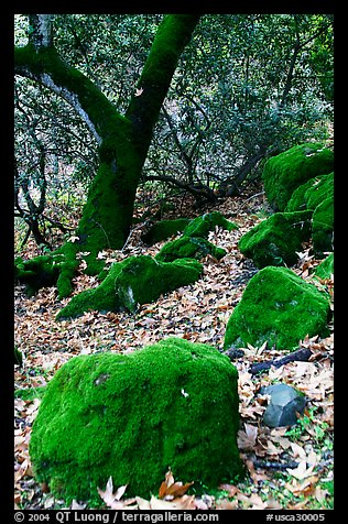 Moss-covered boulders and sycamore,  Alum Rock Park. San Jose, California, USA (color)