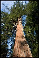 Redwood tree, looking upwards. Big Basin Redwoods State Park,  California, USA (color)