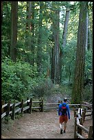 Hiker on trail. Big Basin Redwoods State Park,  California, USA (color)