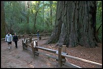 Tourists near the tree named Mother of the Forest, a 329 foot high tree. Big Basin Redwoods State Park,  California, USA