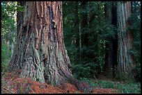 Redwood trees. Big Basin Redwoods State Park,  California, USA (color)