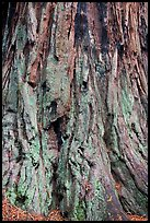 Detail of redwood tree bark. Big Basin Redwoods State Park,  California, USA ( color)