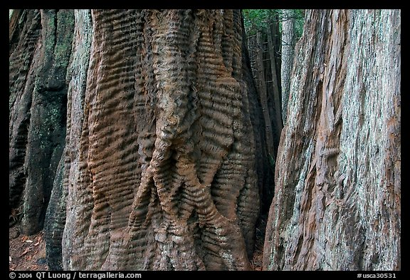 Trunks of redwood trees with curious texture. Big Basin Redwoods State Park,  California, USA (color)