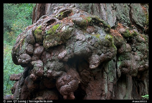 Redwood tree burl. Big Basin Redwoods State Park,  California, USA (color)