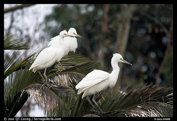 Three egrets resting, Palo Alto Baylands. Palo Alto,  California, USA (color)