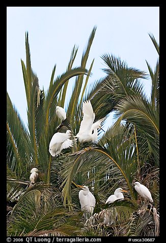 Egret rookery on palm tree, Baylands. Palo Alto,  California, USA (color)