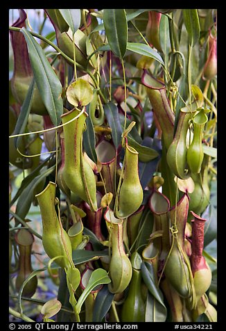 Carnivorous pitcher plant in the the Conservatory of Flowers. San Francisco, California, USA (color)