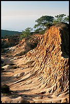 Rare Torrey Pine trees on sandstone promontory,  Torrey Pines State Preserve. La Jolla, San Diego, California, USA