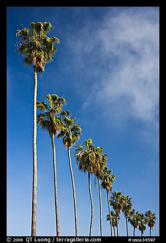 Row of palm trees. La Jolla, San Diego, California, USA (color)