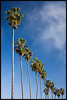 Row of palm trees. La Jolla, San Diego, California, USA ( color)
